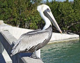 Brown Pelican In The Florida Keys, Standing On Bridge.