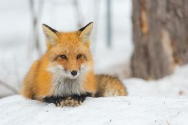 Red Fox - Vulpes Vulpes, Calmly Lays Down On A Small Snow Covered Patch In The Woods And Relaxes.