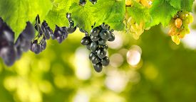 Image Of Grapes On Green Background Closeup