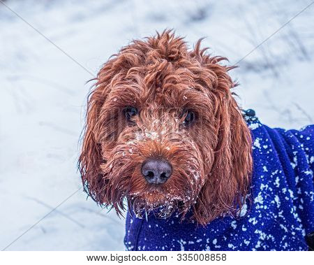 Cockapoo With Face Covered In Snow