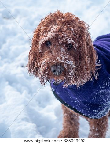 Portrait Of A Snow Covered Cockapoo