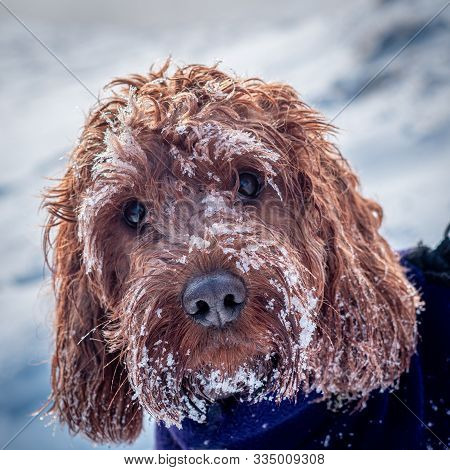 Portrait Of A Cockapoo Covered In Snow