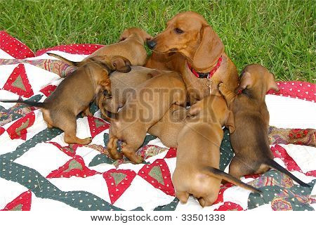 Mother dachshund and her 7 pups