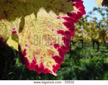 Early Autumn Vine Taste And Colour