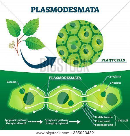 Plasmodesmata Plant Cells Diagram, Vector Illustration. Educational Microscopic Labeled Cross Sectio