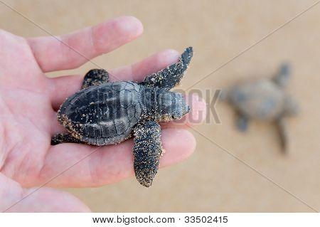Loggerhead Turtle Baby(caretta Carretta)