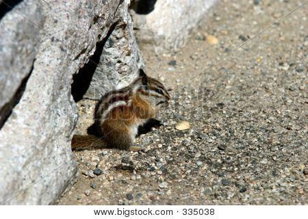 Chipmunk With A Nut