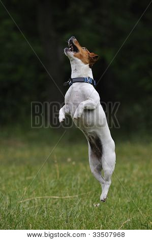 Jumping Jack Russell Terrier Dog