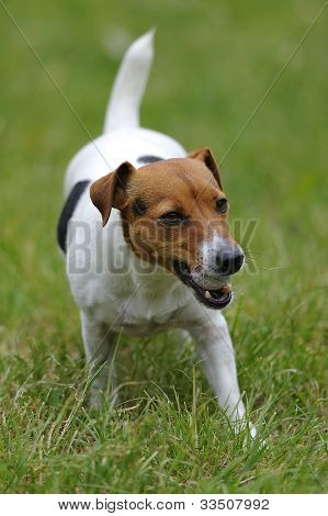 Jack Russell Terier Currying Ball
