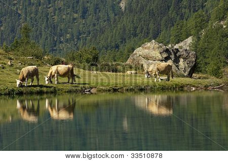 Alpine landscape with lake and cows