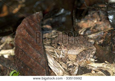 Common Big-headed Frog