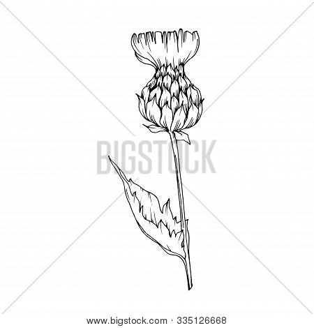 Vector Herbal Floral Foliage. Black And White Engraved Ink Art. Isolated Herbal Illustration Element