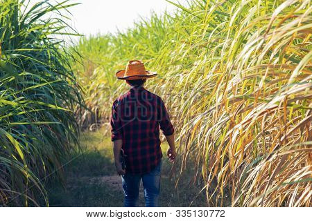 Farmer Walking To Inspect Sugarcane, Digital Tablet In Agricultural Field,sugarcane Field And Road