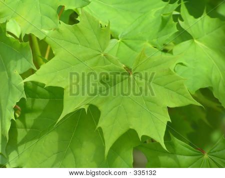 green maple leaves as a very green natural background poster