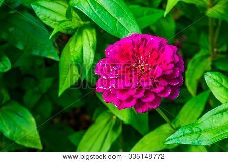 Beautiful Pompon Dahlia Flower In Bloom, Colorful Ornamental Garden Flower, Cultivar Specie