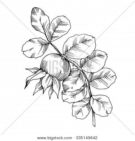 Rose Hip Branch With Fruit Botanical Foliage. Black And White Engraved Ink Art. Isolated Rosehip Ill