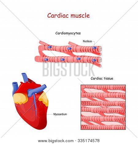Structure Of Cardiac Muscle Fibers. Anatomy Of Cardiomyocyte. Background Of Heart Muscle Tissue. Set