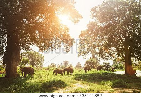 Elefants Family Herd Grazing Near The Pond In National Nature Park Udawalawe, Sri Lanka
