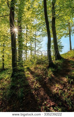 Beech Forest At Sunrise In Sunny Weather. Nature Scenery In Morning Light. Tall Trees In Green Folia