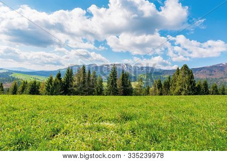 Spruce Forest On The Grassy Meadow With Tiny Flowers In Mountains. Great Transcarpathian Springtime