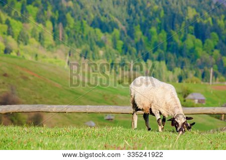 Fluffy Goat Grazing On A Mountain Meadow.  Fresh Green Grass Near The Wooden Fence. Distant Ridge Wi
