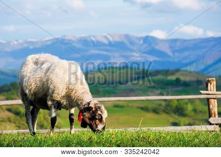 Fluffy Goat Grazing  Fresh Green Grass On A Mountain Meadow In Front Of The Fence. Distant Ridge Wit