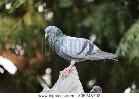 Front View Of The Face Of Rock Pigeon Face To Face.rock Pigeons Crowd Streets And Public Squares, Li