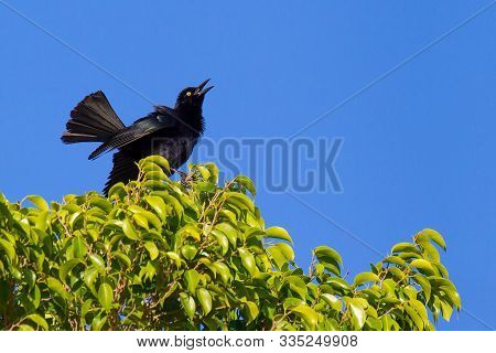 Black Carib Grackle Sings In Green Ficus Shrub With Blue Sky