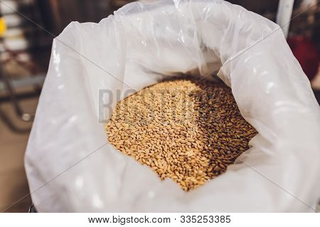 Colse Up Of A Farmers Hand Holding Soyabean Seeds. A Healthy Organic Produce.