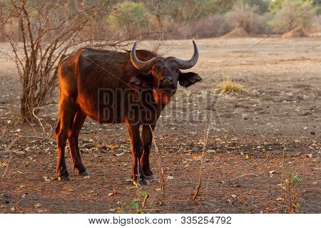 African Buffalo - Syncerus Caffer Or Cape Buffalo Is A Large Sub-saharan African Bovine. Portrait In