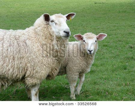 Romney Ewe And Lamb