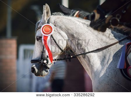A Grey Beautiful Racehorse Stands At The Awards Ceremony With A Red Bright Rosette Attached To The B