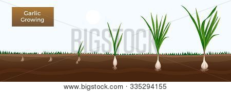 Vegetables Growth Stages Educative Horizontal Gardener Gids Banner With Garlic From Cloves Planting