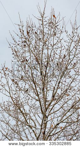 Small Birds In A Bare Tree In Winter