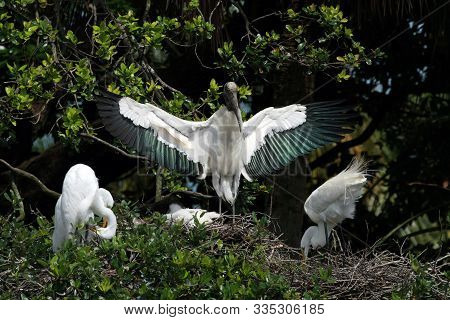 Wood Stork - Mycteria Americana - Guards Its Nest In Saint Augustine, Florida With Two Great Egrets