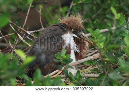 Immature Tricolored Heron - Egretta Tricolor - On Nest In Saint Augustine, Florida.