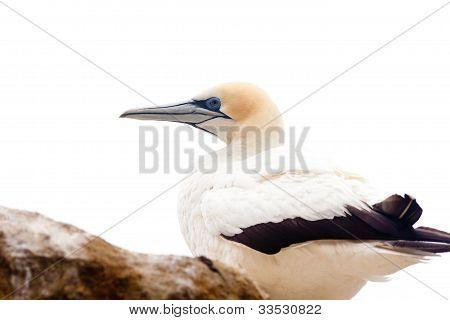 Portrait of resting gannet isolated on white