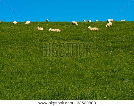 Flock of sheep lazily grazing on green grassy hill