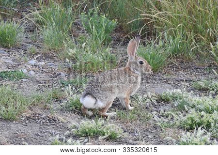 Cottontail Rabbit, Merced National Wildlife Refuge, California.