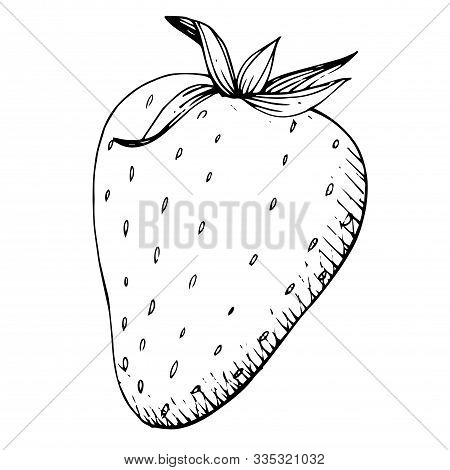 Vector Strawberry Healthy Food. Black And White Engraved Ink Art. Isolated Strawberry Illustration E