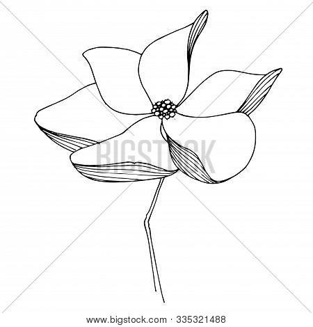 Vector Magnolia Floral Botanical Flower. Black And White Engraved Ink Art. Isolated Magnolia Illustr