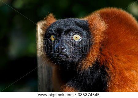 A Red Ruffed Lemur Looking Towards Camera