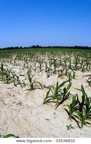Drought Conditions In Illinois Corn Field