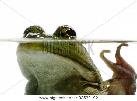 Bullfrog In Water