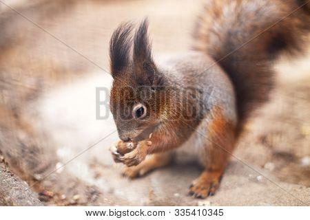 Squirrel Nibbles Acorn. Portrait Of A  Squirrel Close