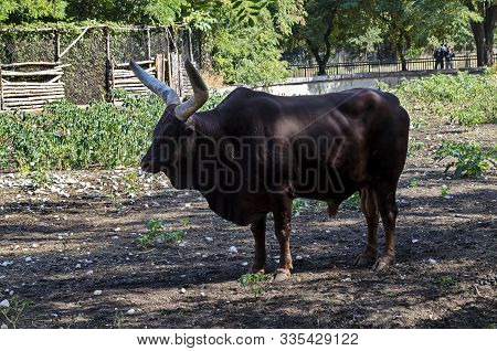 African Brown Bull Ankole Watusi, Bos Taurus Watusi Or Ankole Longhorn Rest In The Shade, Sofia, Bul