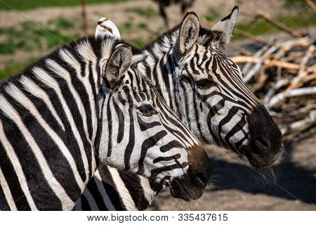 Portait Of A Pair Adult Zebras. Photography Of Lively Nature And Wildlife.