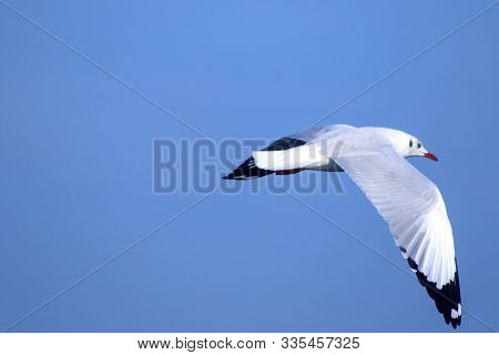 Seagulls flying in the blue sky, Seagulls are seagulls, Seagulls are medium sized birds. The tip of