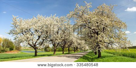 Road And Alley Of Flowering Cherry Trees In Latin Prunus Cerasus With Beautiful Sky. White Colored F