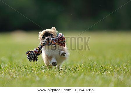Chihuahua Puppy Play Game com brinquedo na mão de mulher